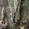 (2008-05) Leaning Cedars