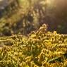 (2010-08) Sunny Golden Rod